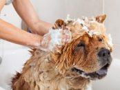 Hund wird mit Shampoo eingerieben