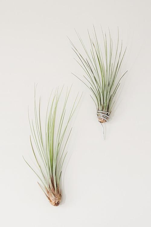 Cival Luftpflanze