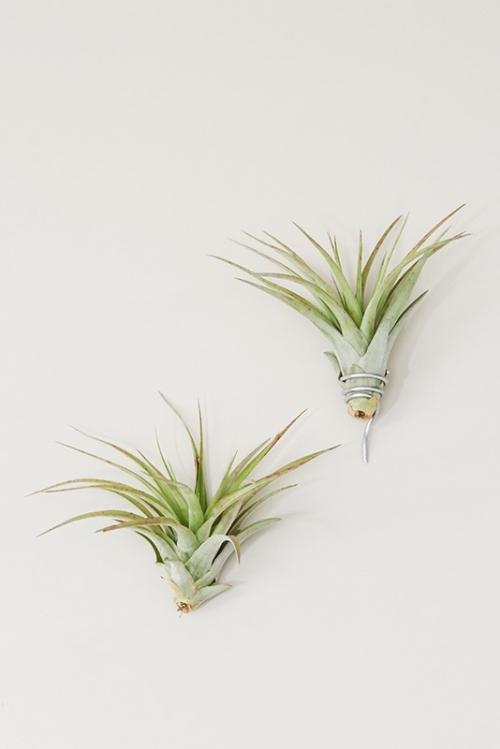 Nakbe Luftpflanze